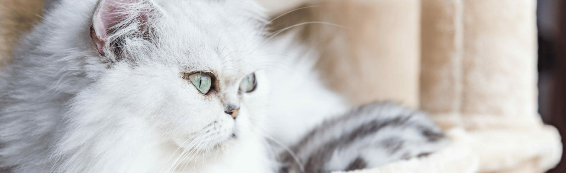 White cat looking off into the distance