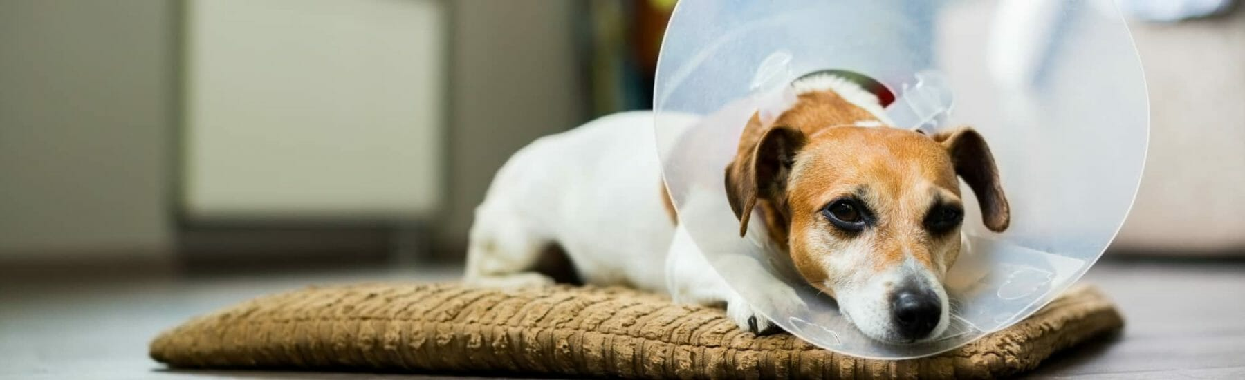 Small dog with cone on head laying on bed