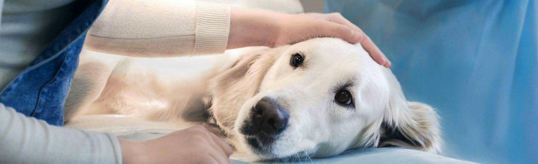 Golden dog getting pet by veterinarian
