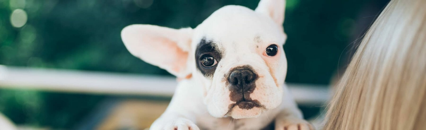 Puppy french bulldog sitting on owners shoulder