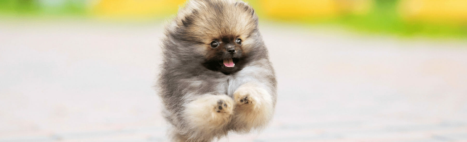 Small puffy dog jumping through the air