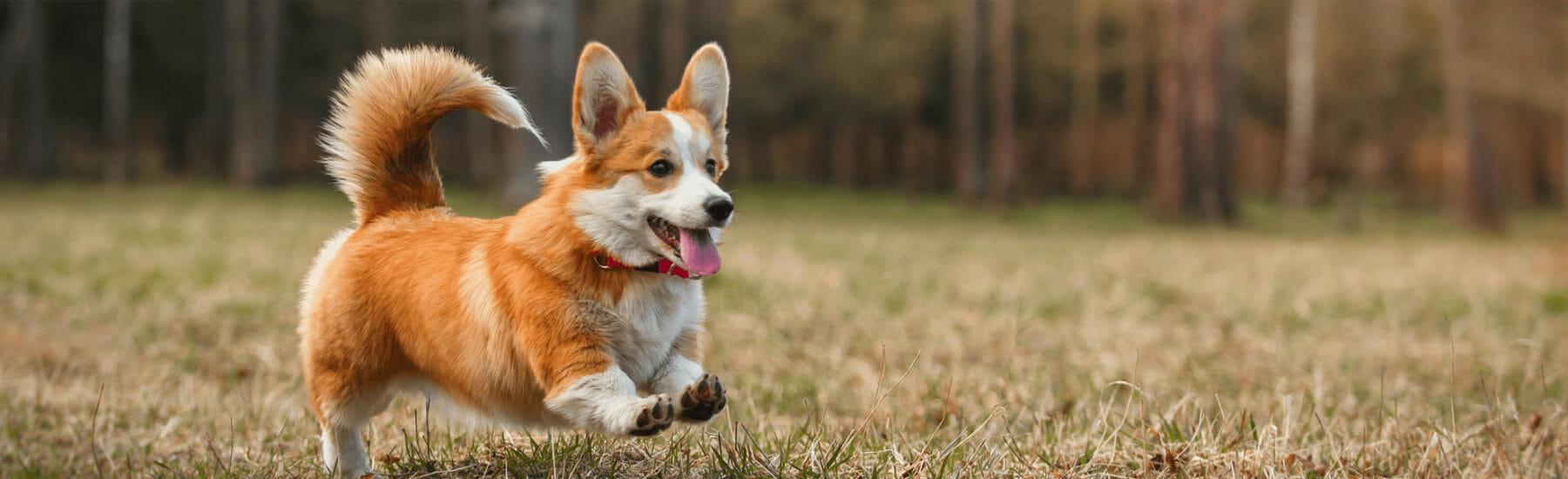 Orange dog jumping through the grass